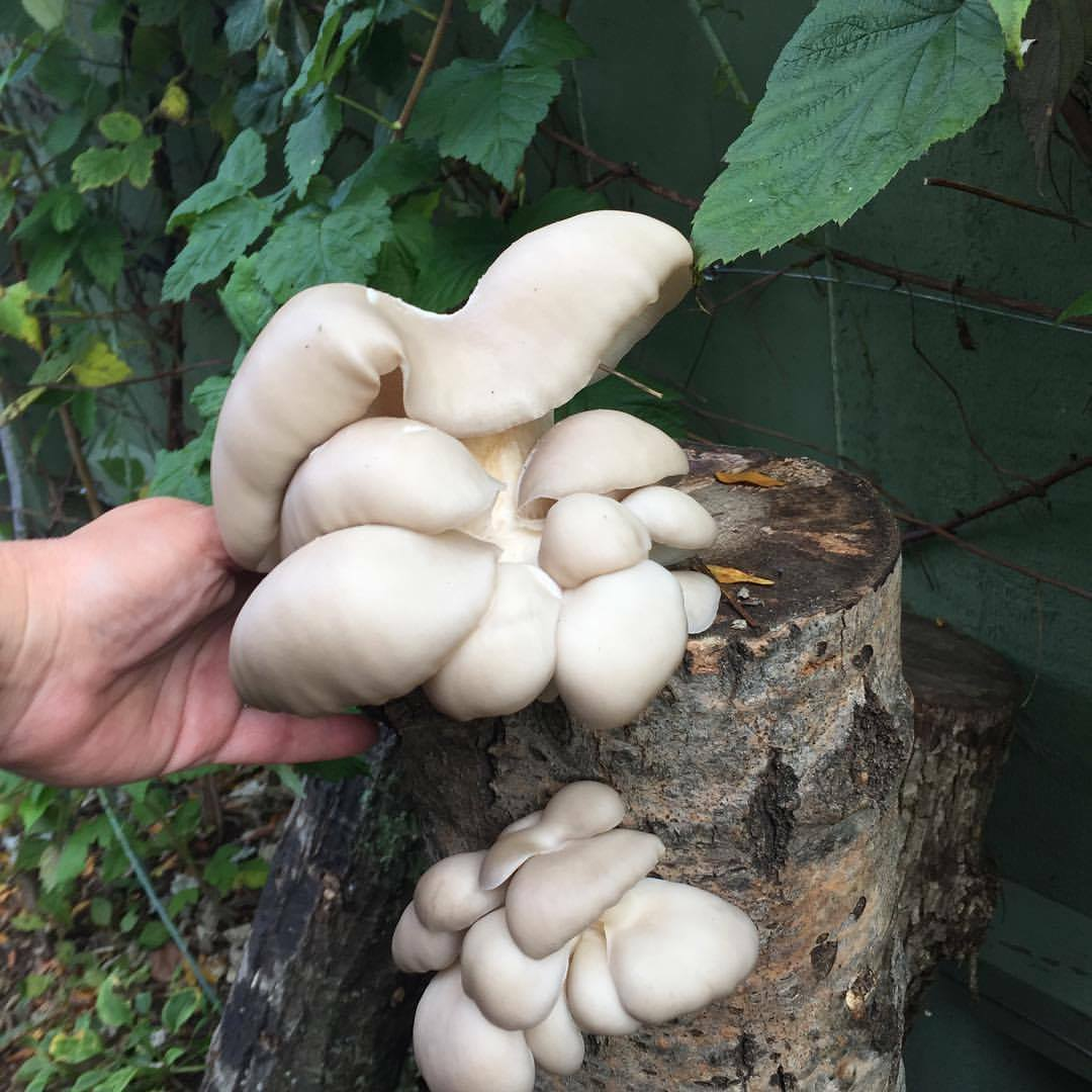 Pohu Oysters growing on an Aspen log